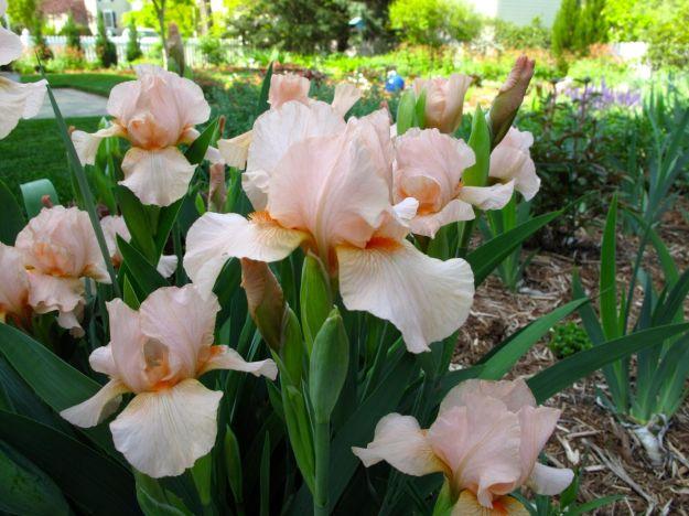 Iris ger. 'Raspberry Blush'