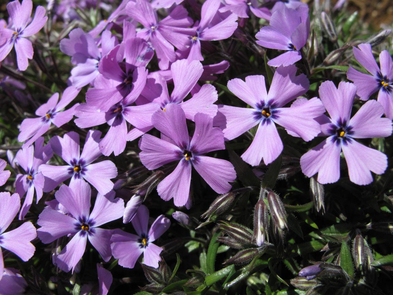 phlox subulata purple beauty pbmgarden. Black Bedroom Furniture Sets. Home Design Ideas