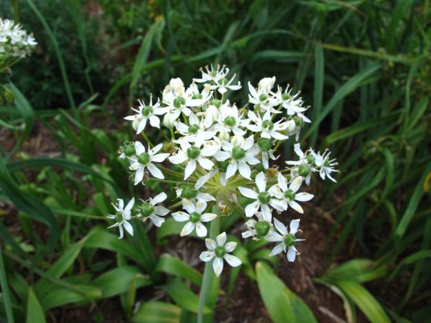 Allium 'Nigrum'