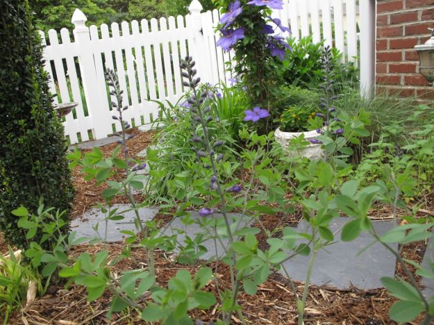 Baptisia 'Purple Smoke' and Clematis 'Jackmanii' at Southern Entrance