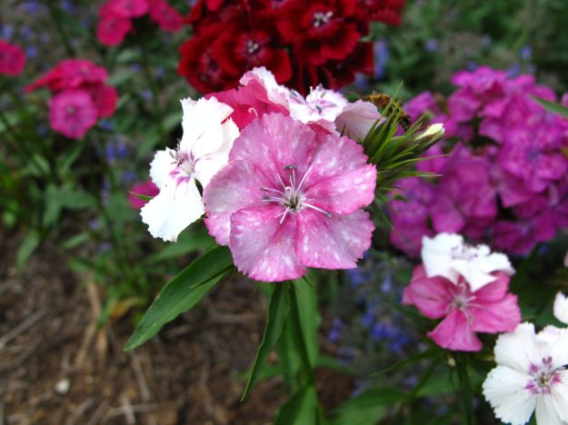 Dianthus barbatus (Sweet William)
