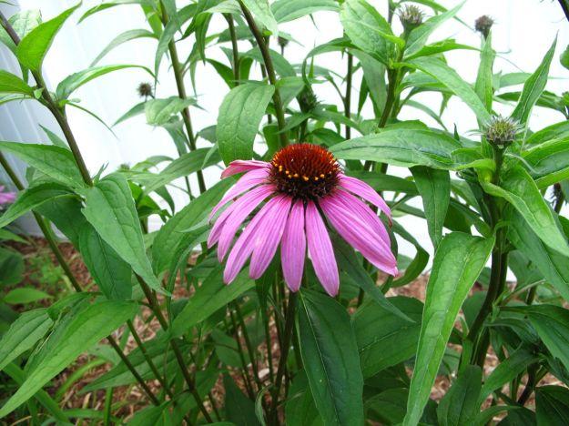 Echinacea purpea (Purple coneflower)