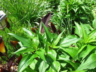 Echinacea purpurea (Purple Coneflower)
