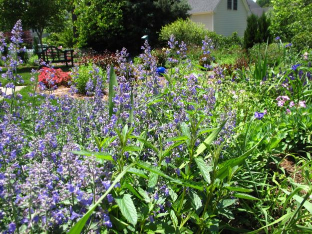Garden View With Nepeta 'Walker's Low' (Catmint)