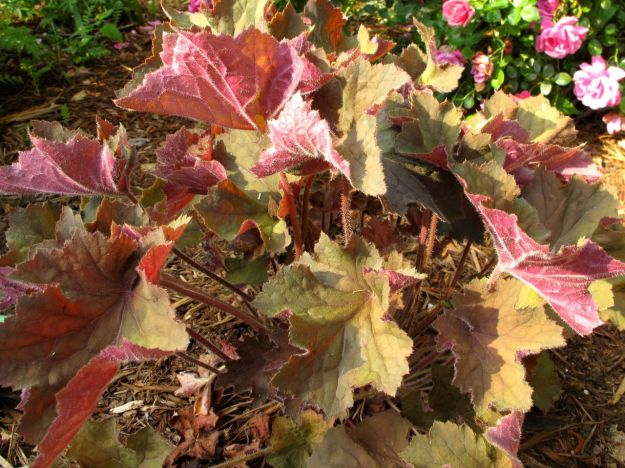Heuchera villosa 'Big Top Bronze' (Coral Bells)