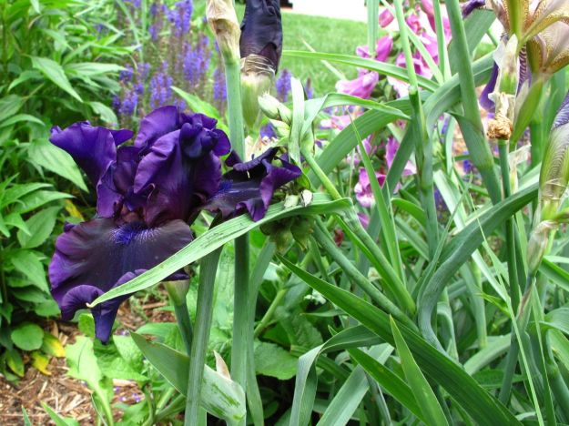 Iris germanica (Bearded iris) -3