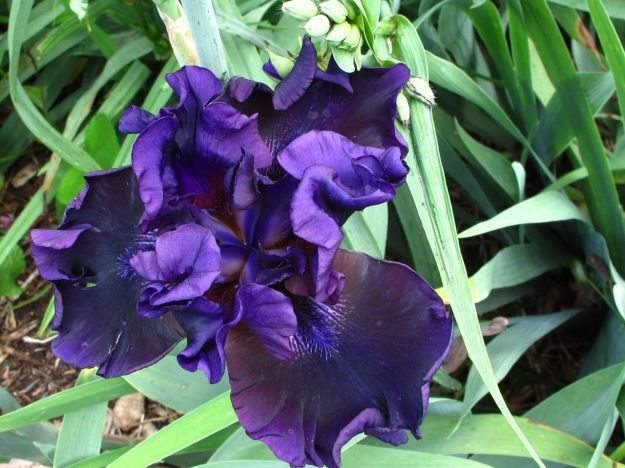 Iris germanica (Bearded iris) -4