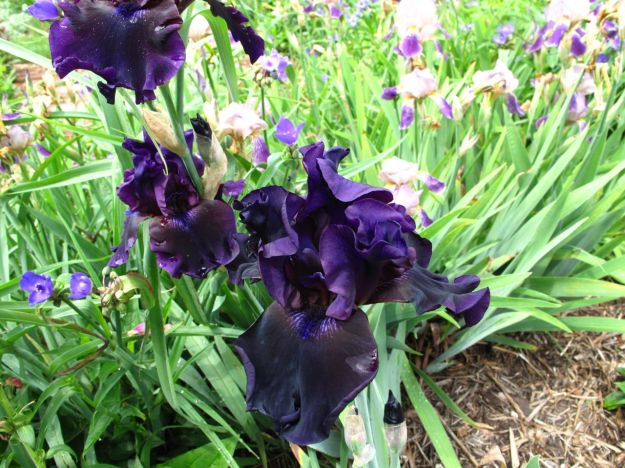 Iris germanica (Bearded iris)  Black Iris