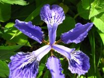 Iris tectorum (Japanese Roof Iris)