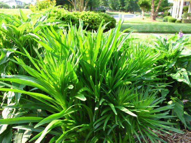 Liatris spicata 'Floristan Weiss' (Gayfeather)