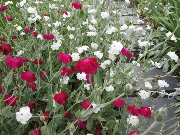 Lychnis coronaria (Rose Campion)-8