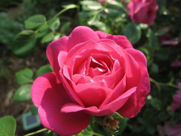 Old-fashioned Rose