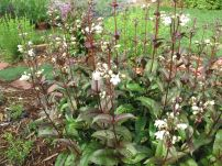 Penstemon digitalis 'Husker Red' (Beardtongue)-3