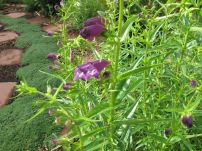 Penstemon  mexicali 'Pike's Peak Purple' (Beardtongue)-2