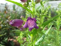 Penstemon mexicali 'Pike's Peak Purple' (Beardtongue)