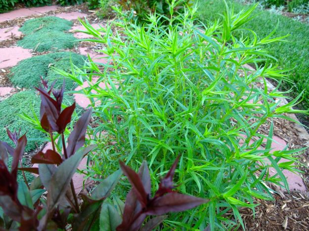 Penstemons and Thyme In The Meditation Circle