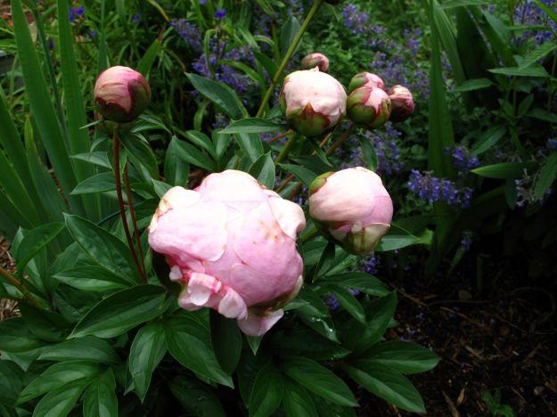 Paeonia 'Pink Parfait'