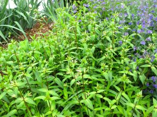 Phlox divaricata (Woodland phlox) and Nepeta 'Walker's Low' (Catmint)