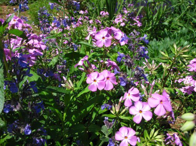 Phlox divaricata (Woodland phlox) and Nepeta 'Walker's Low' (Catmint)