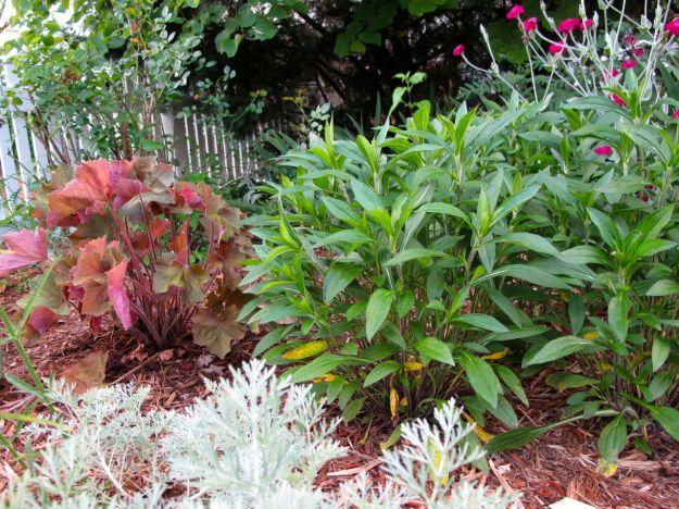 Rudbeckia fulgida (Orange Coneflower) and Heuchera villosa 'Big Top Bronze' (Coral Bells)