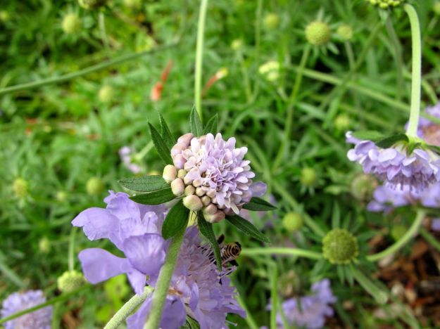 Scabiosa columbaria 'Butterfly Blue'  (Pincushion Flower)