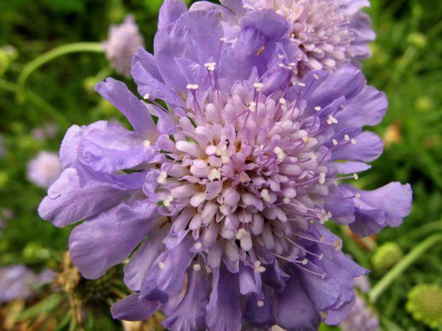 Scabiosa columbaria 'Butterfly Blue'  (Pincushion Flower)