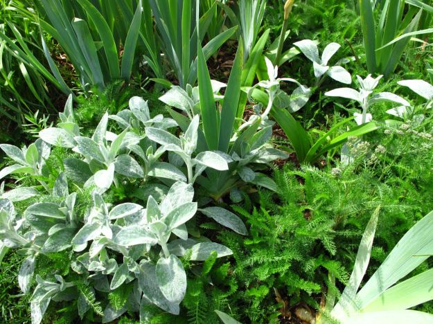 Stachys byzantina (Lamb's Ear) with Iris and Achillea