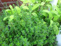 Thyme and Salvia Dorada 'Aurea' (Golden Sage)