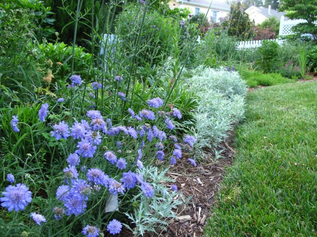 Western Border with Scabiosa columbaria 'Butterfly Blue'  (Pincushion Flower)