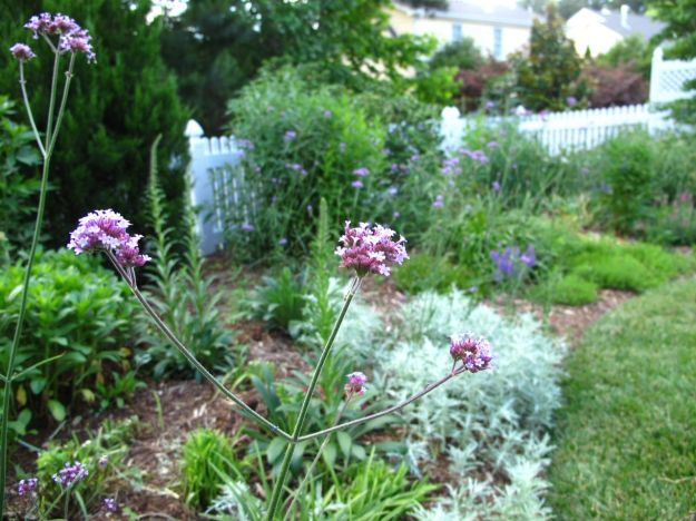 Western Border with Verbena bonariensis (Tall Verbena)