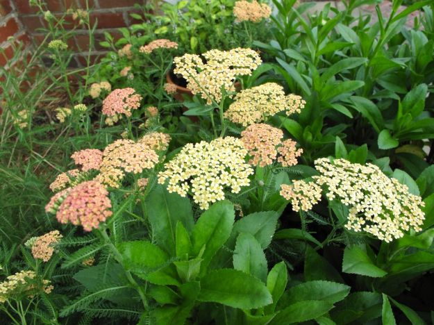 Achillea x 'Appleblossom' (Yarrow) With Shasta Daisy