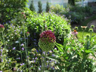 Allium 'Drumstick'