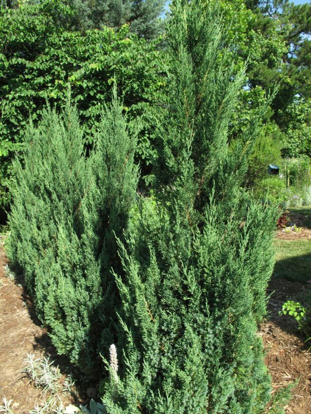 'Blue Point' Juniper