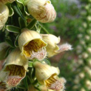 Digitalis ferruginea ('Gelber Herold', 'Yellow Herald', Rusty Foxglove)