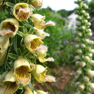 Digitalis ferruginea ('Gelber Herold', 'Yellow Herald', Rusty Foxglove)