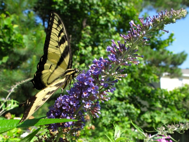 Eastern Tiger Swallowtail (Papilio glaucus), Buddleja davidii 'Adokeep' (Adonis blue Butterfly Bush)