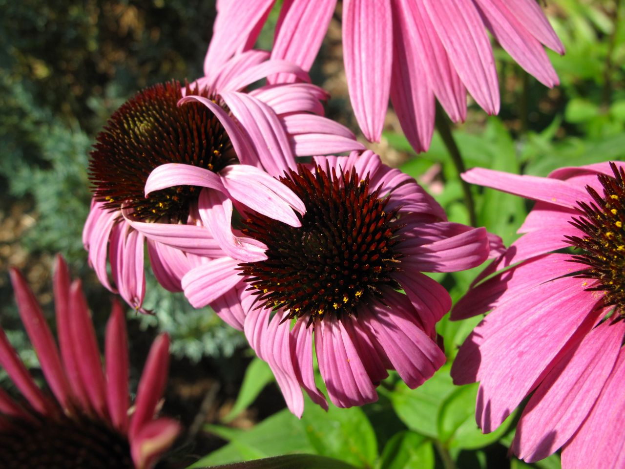 echinacea purpurea pbmgarden page 2. Black Bedroom Furniture Sets. Home Design Ideas