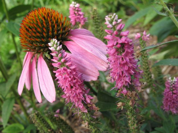Echinacea purpurea (Purple Coneflower) and Veronica spicata 'Pink Goblin' (Speedwell)