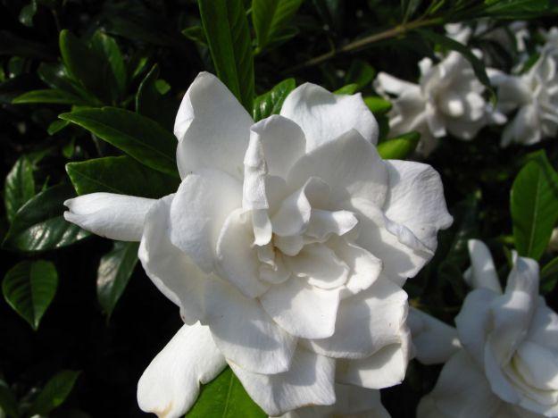 Gardenia jasminoides sp.