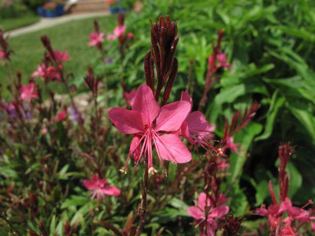 Gaura Belleza 'Dark Pink' (Butterfly Gaura)