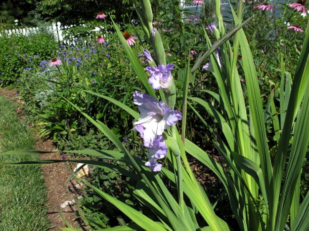 Gladiolus In Northern Border