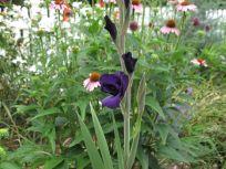 Gladiolus--Deep purple in bud