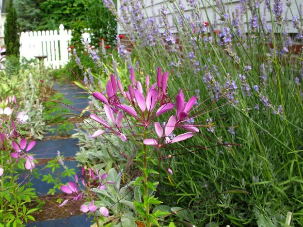 Lavender and Cleome hassleriana (Spider Flower)