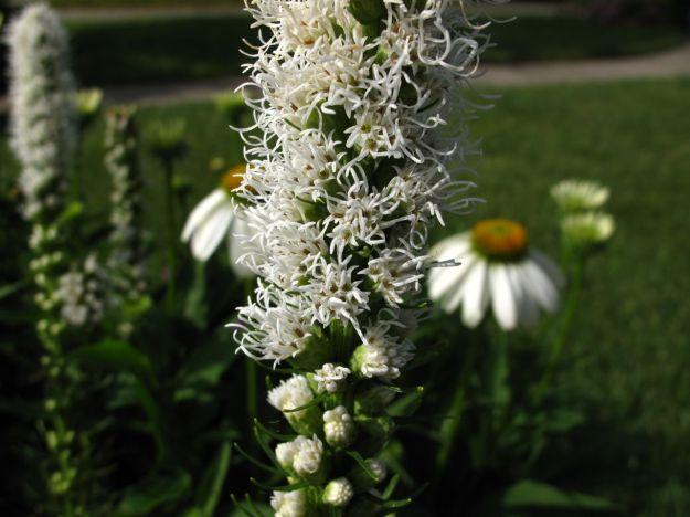 Liatris spicata 'Floristan Weiss' (Gayfeather) and Echinacea purpurea 'White Swan' (Coneflower)