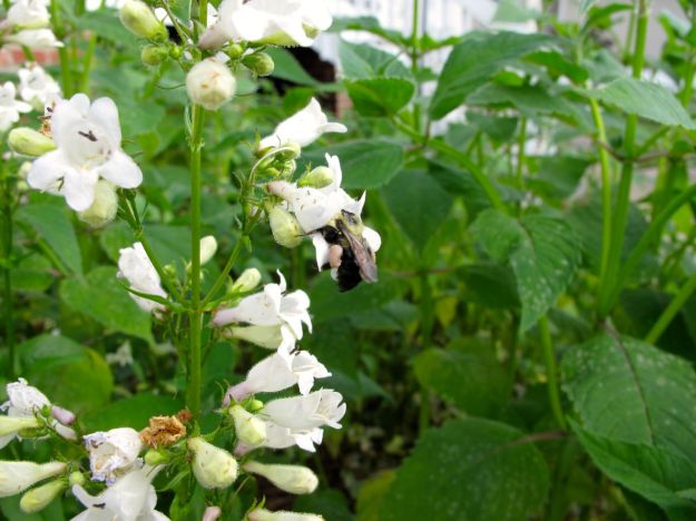 Bee and Penstemon digitalis 'Husker Red' (Beardtongue)