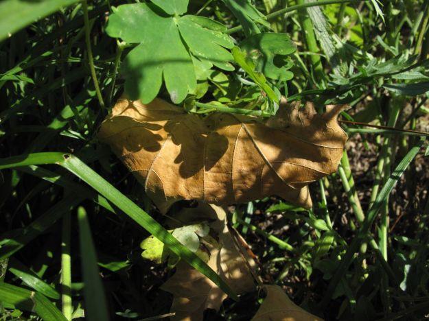 Platanus occidentalis (American sycamore)