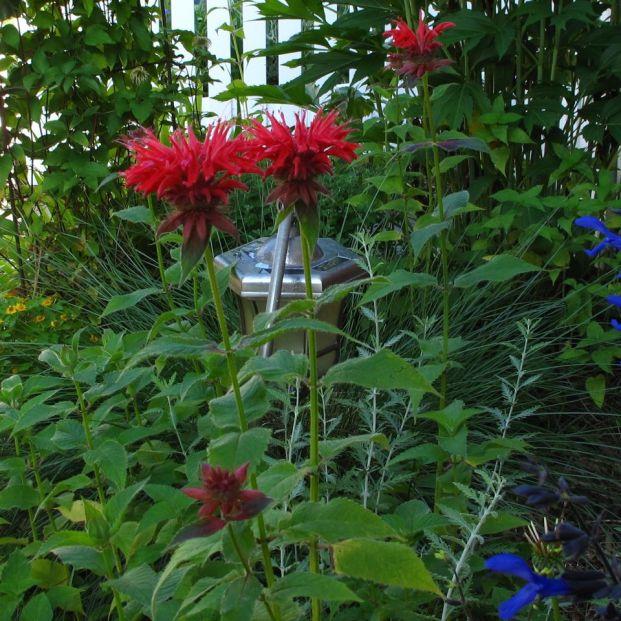 Monarda didyma (Scarlet Beebalm) In Southern Side Garden