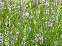 Hummingbird Visiting Lavender