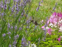 Hummingbird Visiting Lavender
