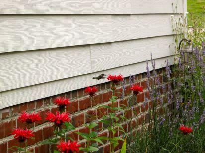 Hummingbird Visiting Monarda